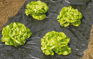 Paillage plastique potager