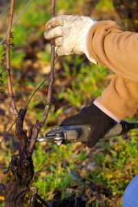 Tailler vigne sécateur