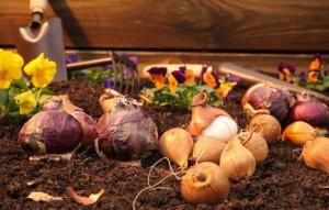Plantation d'oignons et d'aulx