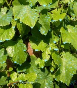 La bouillie bordelaise un rem de ancestral blog ma maison mon jardin - Bouillie bordelaise sur arbres fruitiers en fleurs ...