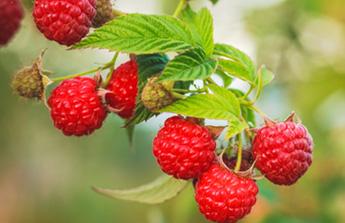 Fraises et framboises, ces fruits qui appellent l'été !