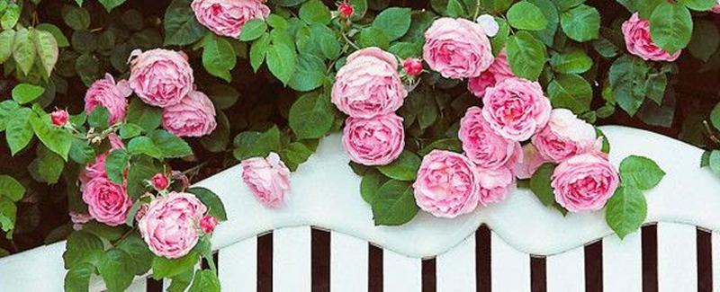 Jardins anglais avec des roses qui retombent sur un portail blanc
