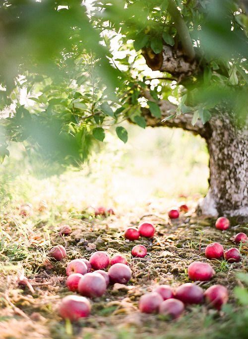 Ramassez les pommes tombées de l'arbre