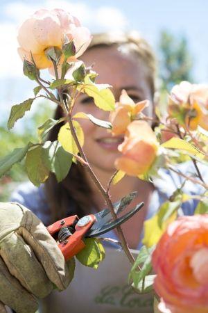 Tailler les rosiers en septembre