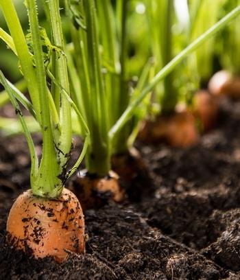 une ligne de carottes au jardin bio