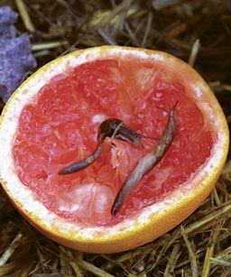 une solution efficace et naturelle contre les limaces, le pamplemousse