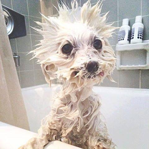 un chien mouillé dans la baignoire